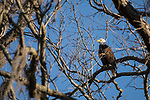 Brazoria County, Damon, Texas; an adult bald eagle perched on a branch of a large, live oak tree in early morning sunlight against a clear blue sky