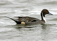 Adult male northern pintail in breeding plumage
