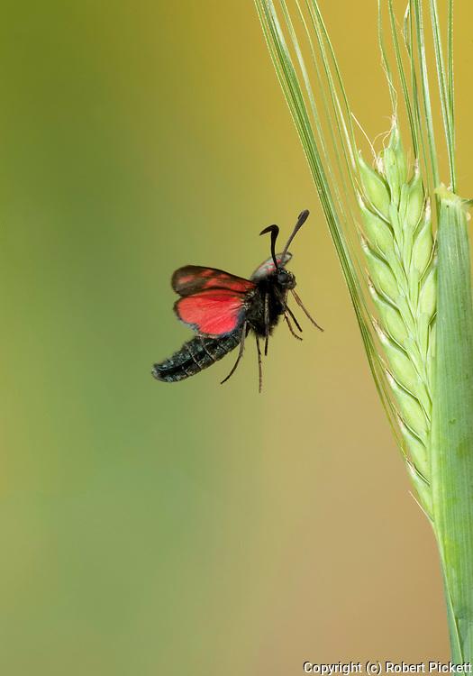 Six Spot Burnet Moth, Zygaena filipendulae, In flight, free flying, High Speed Photographic Technique, daytime, 6.United Kingdom....