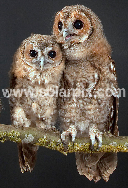 """**ALL ROUND EXCLUSIVE PICTURES FROM SOLARPIX.COM**                                             **NO UK NEWSPAPER PUBLICATION**.**UK MAGAZINE & SUPPLEMENT PUBLICATION ONLY** AND NO PUBLICATION IN AUSTRALIA, BELGIUM, FRANCE, GERMANY, ITALY, SCANDINAVIA AND USA**                                                                                  Caption:  St Tiggywinkles wildlife hospital in Buckinghamshire are currently caring for a newly formed family of ten baby tawny owls..The orphans, which are not related, have been rescued from different location over the past few weeks. Most had fallen from their nest and some were found abandoned after their parents had been killed..The birds are now enjoying life as one big family in the hospital's aviary and will be released back into the wildlife once fully grown.St Tiggywinkles founder Les Stocker said, """"We usually get  a few orphans in this time of year as it's nesting season but this year we seem to have slightly more baby tawny owls. Tawny owls are usually born in pairs so we normally rescue  siblings. This is an unusual group as none are related and they've all come in from different areas. They've actually formed a really nice family and all seem very happy together."""".                                                                                                                                                                      JOB REF: 13547       SFE       DATE: 11.06.2011                                                           **MUST CREDIT SOLARPIX.COM OR DOUBLE FEE WILL BE CHARGED**                                                                      **MUST AGREE FEE BEFORE ONLINE USAGE**                               **CALL US ON: +34 952 811 768 or LOW RATE FROM UK 0844 617 7637**"""