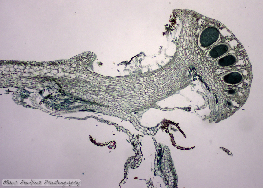 Antheridia are visible inside the antheridiophore.