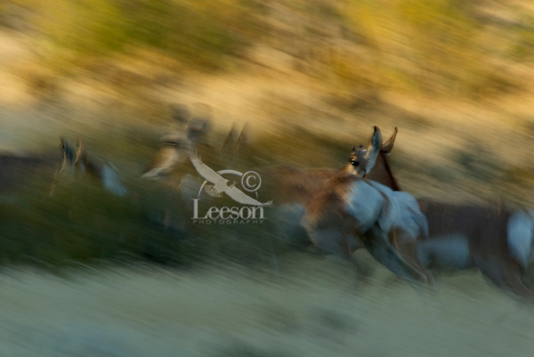 Pronghorn (Antilocapra americana) running--fastest large land mammal in North America.  Fall.