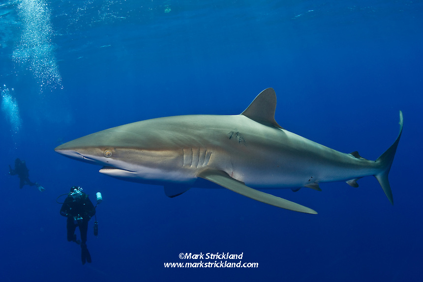 A Silky Shark, Carcharhinus falciformis, investigates a pair of underwater photographers in open water.  Silkies, along with Blues and Oceanic White-tips, are among the few truly pelagic sharks. Bahamas, Atlantic Ocean