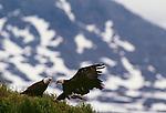 Bald eagle, McNeil River Bear Sancturary, Alaska