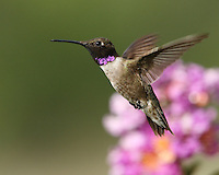 Black-chinned Hummingbird (Archilochus alexandri) and myrtle blossoms. Published NWF June/July issue 2018.