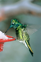 549801081v a wild male broad-billed hummingbird cynanthus latrostis feeds at a snow covered nectar feeder during a spring snowstorm in the mountains of southern arizona