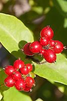 Wald-Geißblatt, Wald-Geissblatt, Waldgeißblatt, Geißblatt, Früchte, Lonicera periclymenum, Woodbine, Clématite des bois