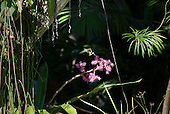 Itaparica Island, Bahia State, Brazil. Pousada Arco Iris; humming bird taking nectar from a pink flowering Bromeliad.