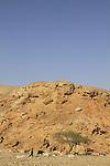 Israel, Negev, Acacia tree near Ein Zach