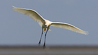 Spoonbill (Platalea leucorodia) at Texel in The Netherlands