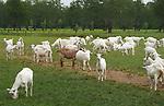 Foto: VidiPhoto<br /> <br /> MAARSBERGEN – De 1200 hagelwitte biologische melkgeiten van Ton van Wolfswinkel uit Maarsbergen zijn misschien wel de meest gefotografeerde geiten van Nederland. Het bedrijf van de bioboer, die ook nog 12.000 biologisch kippen heeft, ligt langs een populaire fiets/motorroute waar vooral nu in coronatijd veel gebruik van wordt gemaakt. De dieren kunnen buiten scharrelen wanneer ze willen. Tweemaal per dag worden ze gemolken. Naar bio-geitenmelk is volgens de Van Wolfwinkel op dit moment veel vraag. Behalve dat de vraag van consumenten naar duurzaam voedsel flink stijgt, wordt geitenmelk ook steeds vaker gebruikt voor babyvoeding. Nederland telt op dit moment 50 biologische geitenhouders, verenigd in de Organic Goatmilk Coöperatie. Doordat de vraag naar biologische geitenmelk toeneemt, is er ook ruimte voor uitbreiding van het aantal producenten.