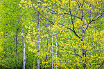 Spring forest in Acadia National Park, Maine, USA