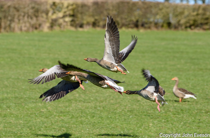 Greylag geese flying over farm grassland, Leighton Moss, Lancashire.