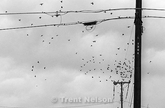 Blackbirds on power lines.<br />