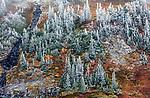 Frosted alpine fir in fall, Mount Rainier National Park, Washington, USA