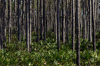 FORT MCCOY, FLORIDA: Palmettos and pine trees near Fort McCoy, Florida on February 25, 2012. Photo by Matt May