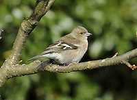 Chaffinch Fringilla coelebs L 15cm. One of our most familiar birds. Forms flocks outside breeding season. Sexes are dissimilar. Adult male has reddish pink on face and underparts, blue crown and nape, and chestnut back. Note dark wings and whitish wingbars, and white undertail and vent. White outer tail feathers seen in flight. Adult female and juvenile are mainly buffish brown, palest on face and underparts; note pale wingbars (pattern similar to male) on otherwise dark wings. Voice Utters a pink pink call. Song comprises a descending trill with a final flourish. Status Common breeding species in a wide range of habitats. Numbers boosted in winter by migrants from N Europe.