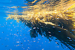 San Diego, California; an aggregation of juvenile fish, including Yellowtail, swimming beneath a kelp paddy in the blue water of the Pacific ocean