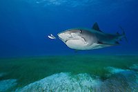 RW4264-D. Tiger Shark (Galeocerdo cuvier), grows to at least 18 feet long; feeds on wide variety of things- sea turtles, fish, invertebrates, marine mammals; found in shallow coastal waters as well as the deep open ocean. Bahamas, Atlantic Ocean.<br /> Photo Copyright &copy; Brandon Cole. All rights reserved worldwide.  www.brandoncole.com