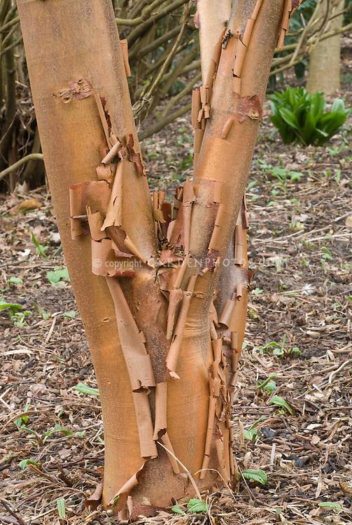 Acer griseum Paper bark tree bark trunk