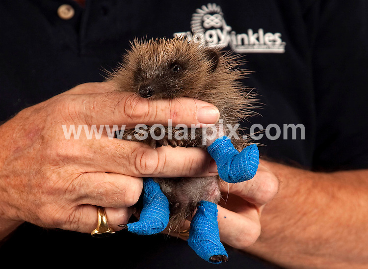 **ALL ROUND PICTURES FROM SOLARPIX.COM**.**NO UK NEWSPAPER PUBLICATION**.**UK MAGAZINE & SUPPLEMENT PUBLICATION ONLY** AND NO PUBLICATION IN AUSTRALIA, BELGIUM, FRANCE, GERMANY, ITALY, SCANDINAVIA AND USA** .Meet Trifle, the hedgehog with three broken legs swathed in bandages, Trifle the baby hedgehog appears to have got himself into a prickly situation...The 10-week old male hedgehog has been rescued by St Tiggywinkles Wildlife Hospital after he was found injured in Ruislip, Middlesex, last Sunday with three injured legs. An X-ray revealed he had broken his front leg and fractured both his rear legs...Staff at the hospital are baffled as to what happened to the tiny creature but one theory is that he fell off a wall, and failed to curl up into a ball to protect himself, or that  he was attacked by a dog...Hospital founder Les Stocker said Trifle was being treated with antibiotics and having his dressings changed every second day, and that his legs would take up to eight weeks to mend, adding - We're not sure if he's going to keep all of his legs, but we're hoping he will...He plans to keep Trifle at the hospital for about a year to ensure his recovery goes smoothly and said that - he will be a nice big fat hedgehog by the time we release him. St Tiggywinkles Wildlife Hospital, Buckinghamshire, UK. 18 August 2010.This pic: Injured Hedgehog..JOB REF: 11949 SFE       DATE: 18_08_2010.**MUST CREDIT SOLARPIX.COM OR DOUBLE FEE WILL BE CHARGED**.**MUST NOTIFY SOLARPIX OF ONLINE USAGE**.**CALL US ON: +34 952 811 768 or LOW RATE FROM UK 0844 617 7637**