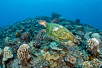 hawksbill turtle, Eretmochelys imbricata, Critically endangered (IUCN), dive site La Source, Tahiti Island, Society Archipelago, French Polynesia, Pacific Ocean