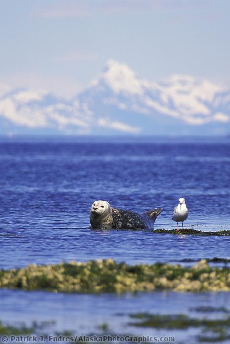 Harbor seal resting on island, Glaucus winged gull, Chugach mountains on horizon, Channel Island Prince William Sound, Alaska