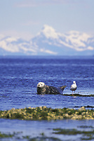 Harbor seal resting on island, Glaucus winged gull, Chugach mountains on horizon, Channel Island Prince William Sound, Alaska