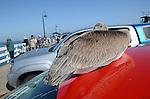 Brown pelican on red car at Santa Cruz Muni Wharf