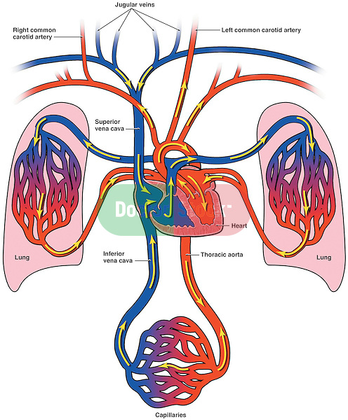 Diagram of Bloodflow to the Heart, Lungs and Body
