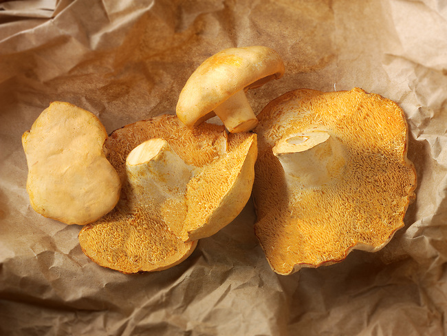 Fresh picked wiild organic Pied de Mouton Mushrooms (hydnum repandum) or hedgehog mushrooms