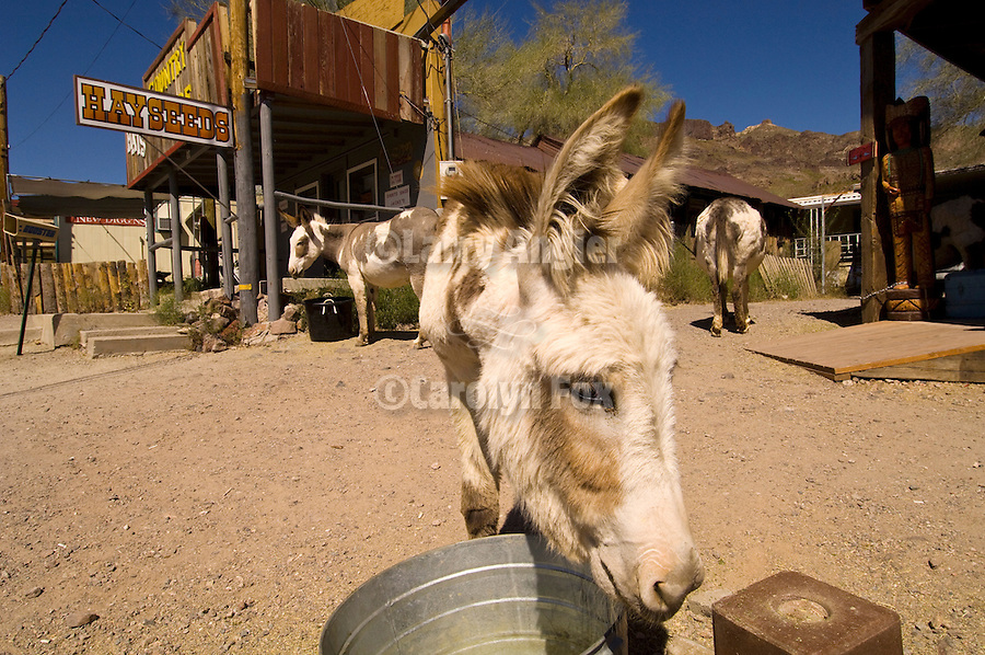 Three spotted jackasses in Oatman, Ariz., Hayseeds, I suppose.
