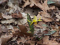 Trout Lily in bloom in Tallman Mt. State Park