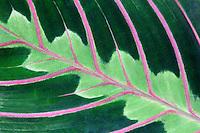 prayer plant,leaf,leaves,