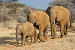 Elephants (Loxodonta africana) walking on trail through dry bush savannah