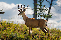A mule deer buck stands on Blacktail Deer Plateau in Yellowstone National Park.