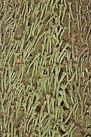 Trompetenflechte, Trompeten-Flechte, Strauchflechte, Becherflechte, wächst auf Totholz, Cladonia fimbriata, Cup Lichen