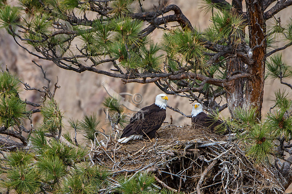Bald Eagle Nest (Haliaeetus leucocephalus)--with both adults in tall ponderosa pine tree.  Oregon.  April.