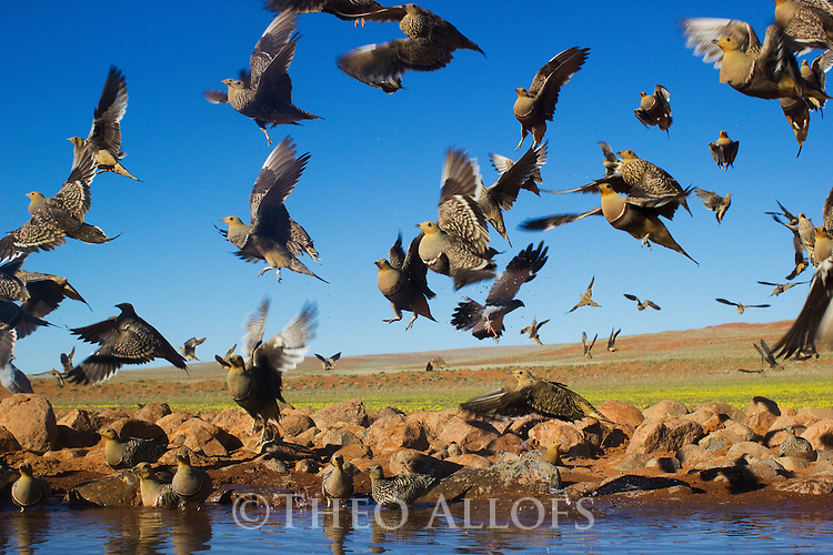 Namibia, Namib Desert, Namibrand Nature Reserve, sand grouse (Pterocles namaqua) taking off from water hole