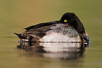 Lesser Scaup (Athya affinis), male sleeping, Dinero, Lake Corpus Christi, South Texas, USA