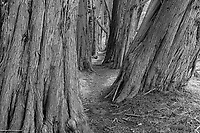 Cypress Trees & Trail in Sonoma County, California