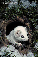 MA05-026x  Short-Tailed Weasel - ermine exploring tree cavity for prey in winter - Mustela erminea