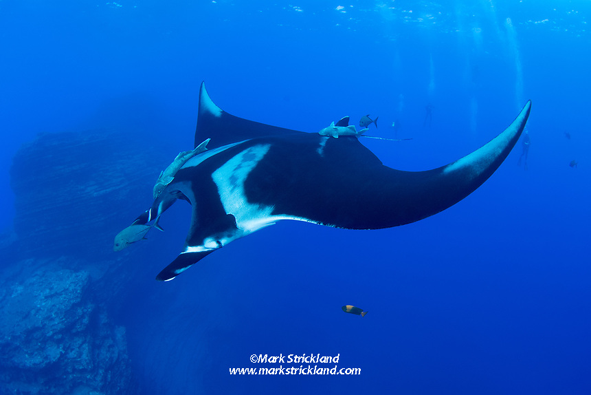 Giant Manta, Manta birostris, pausing to be cleaned by a Clarion Angelfish, Holacanthus clarionensis. The Boiler, San Benedicto Island, Revillagigedo Archipelago, Mexico, Pacific Ocean