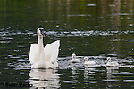 Trumpeter swan with young cygnets. National Elk Refuge, Wyoming.