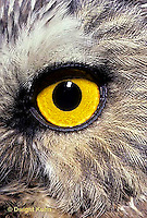 OW11-002z   Saw-whet owl - close-up of eye - Aegolius acadicus