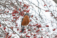 01382-05311 American Robin (Turdus migratorius) eating Hawthorn berry in winter Marion Co. IL