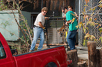 648400005 a spotted hyena crocuta crocuta is transferred by senior staff from a holding cage to its permanent enclosure at a wildlife rescue facility - animal is a wildlife rescue animal