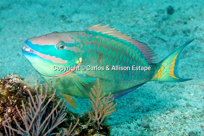 Sparisoma viride, Stoplight parrotfish, Florida Keys