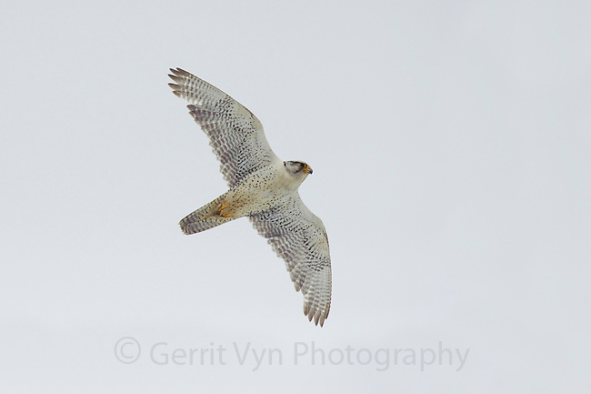 Adult male white-phase Gyrfalcon (Falco rusticolus) in flight. Seward Peninsula, Alaska. June.
