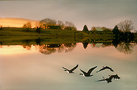 Geese flying over lake at sunset in fall